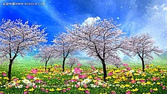 超美樱花雨视频