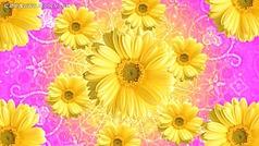 漂亮的菊花视频