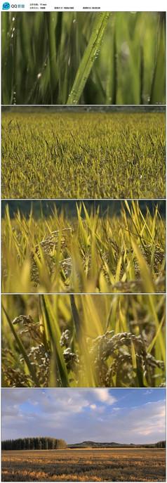 实拍小麦视频