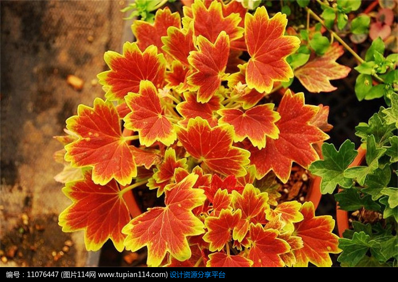 枫叶天竺葵(牻牛儿苗科)图片