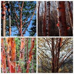 红桦植物图片
