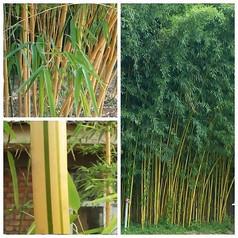 黄秆乌哺鸡竹图片