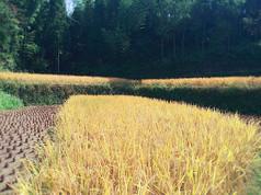 收割季节的农田