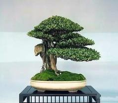云片造型黄杨盆景