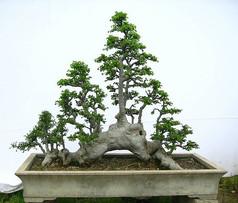 榆树树桩丛林式盆景