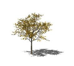 开黄花的落叶树SU模型