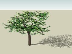 槭树科植物SU模型