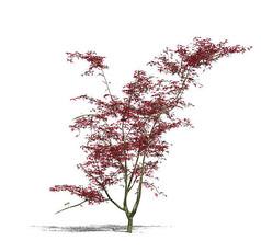 红枫SU模型