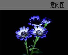 蓝色瓜叶菊