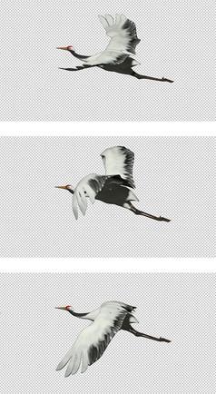 丹顶鹤仙鹤飞舞透明通道视频