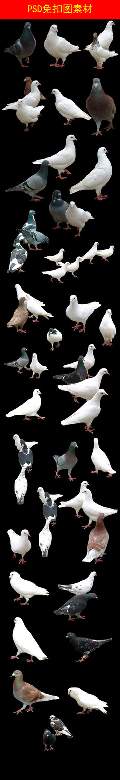 PSD各种角度鸽子免抠素材