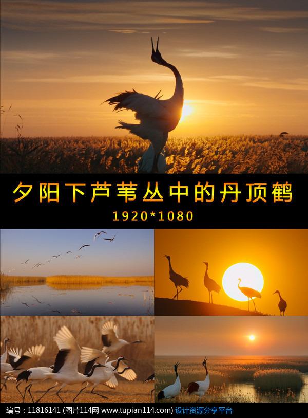 [原创] 夕阳下芦苇丛中的丹顶鹤视频