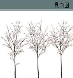 杏花PS素材