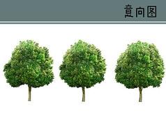 香樟树PS素材