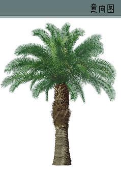 椰树PS素材