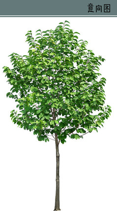 玉兰树PS素材