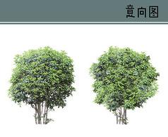 茶树PS素材