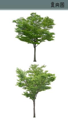 榉树PS素材