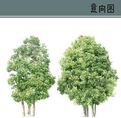 冬青树PS素材