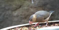 正在吃东西的小鸟视频