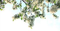白色花朵视频
